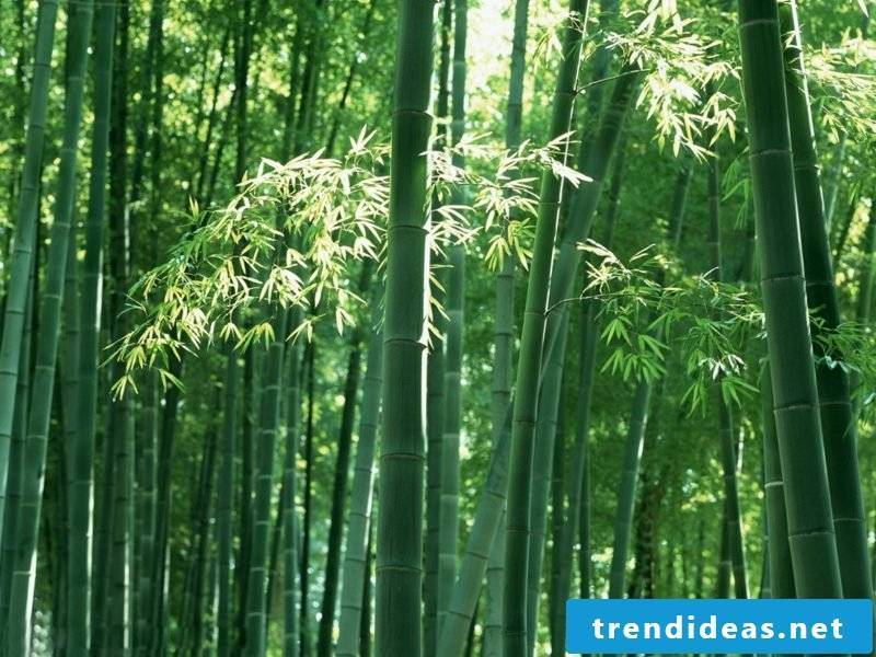 Bamboo in the tub forest