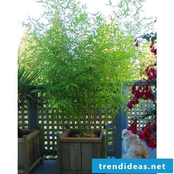 buy bamboo in tub