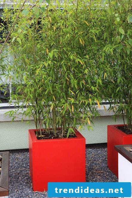 bamboo in tub red