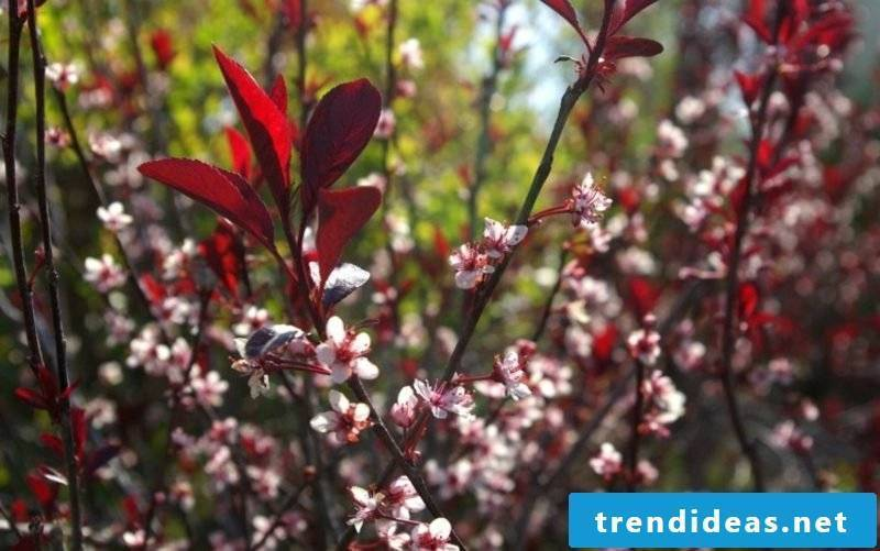 Front yard framing plants Blutpflaume