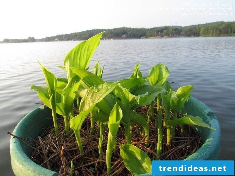Curcuma plant comes from Asia!
