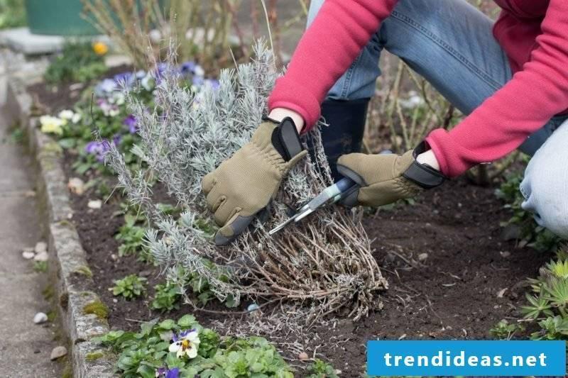 Lavender cut practical tips