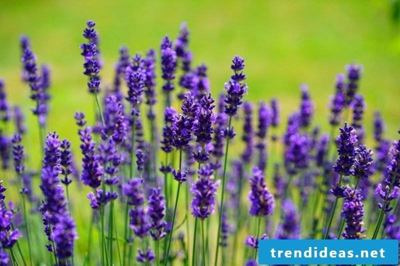 Lavender blossomed magical look