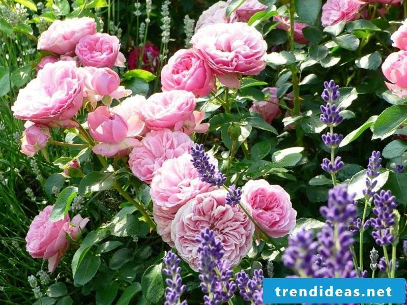 Roses and lavender