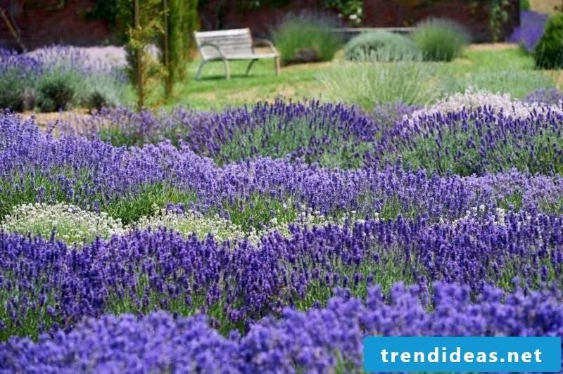 creative ideas garden design lavender