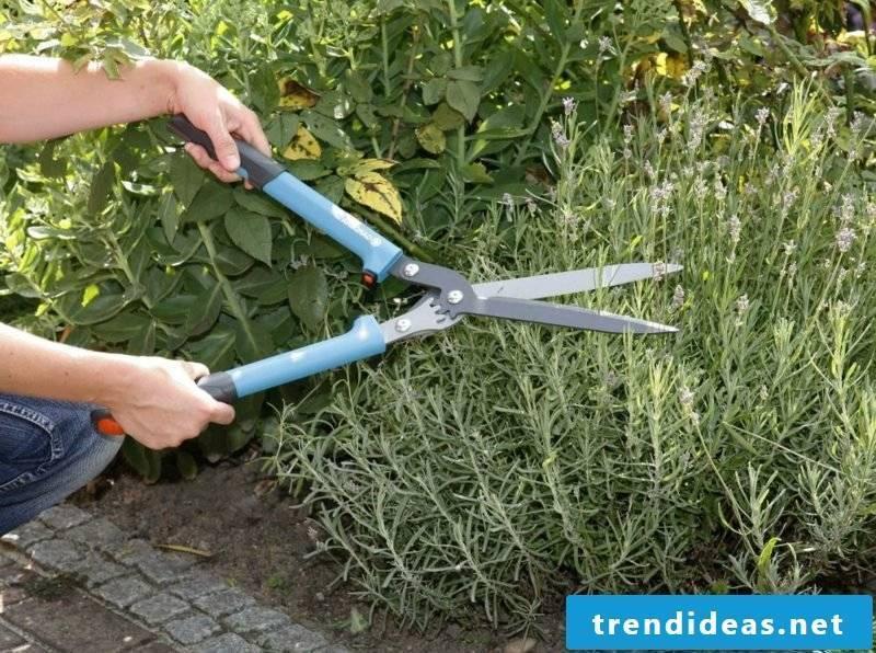 Lavender cut instructions