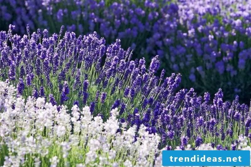 Lavender necessary care in the garden