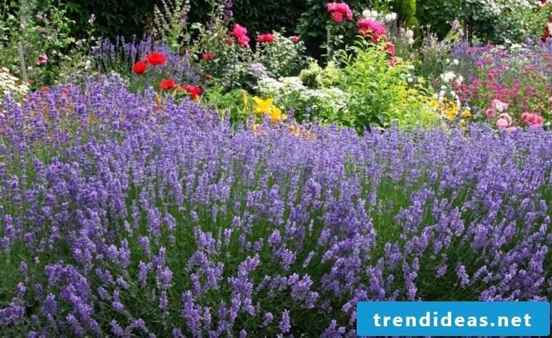 Lavender bush in the garden care tips