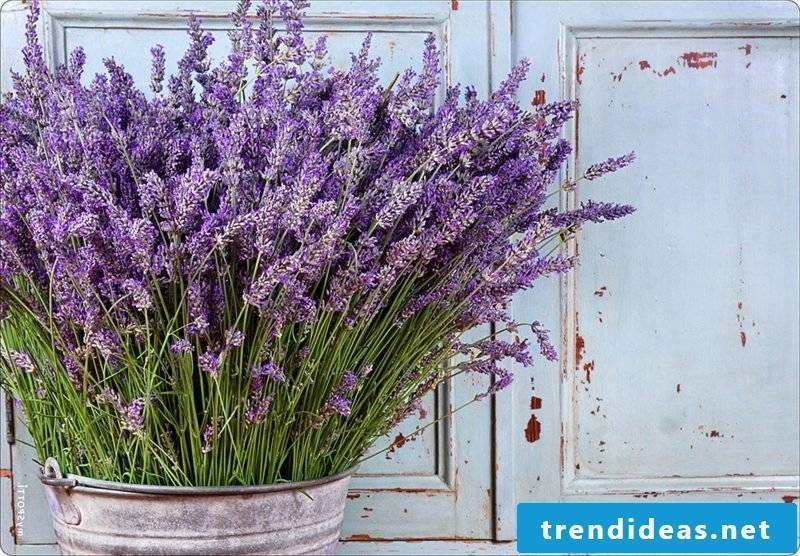 Lavender bush in flowerpot vintage style