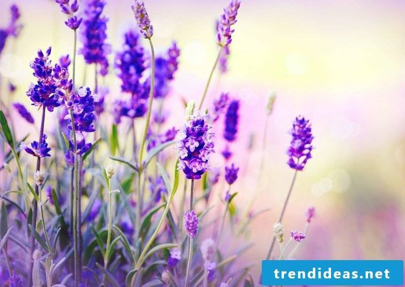 the delicate flowers of lavender