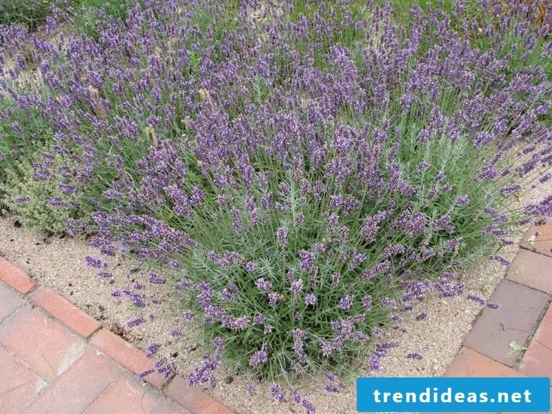 Lavender flowerbed