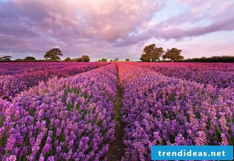 Lavender field magical look