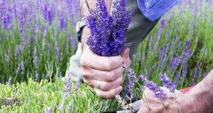 Cutting lavender: important care tips for the beautiful aromatic plant