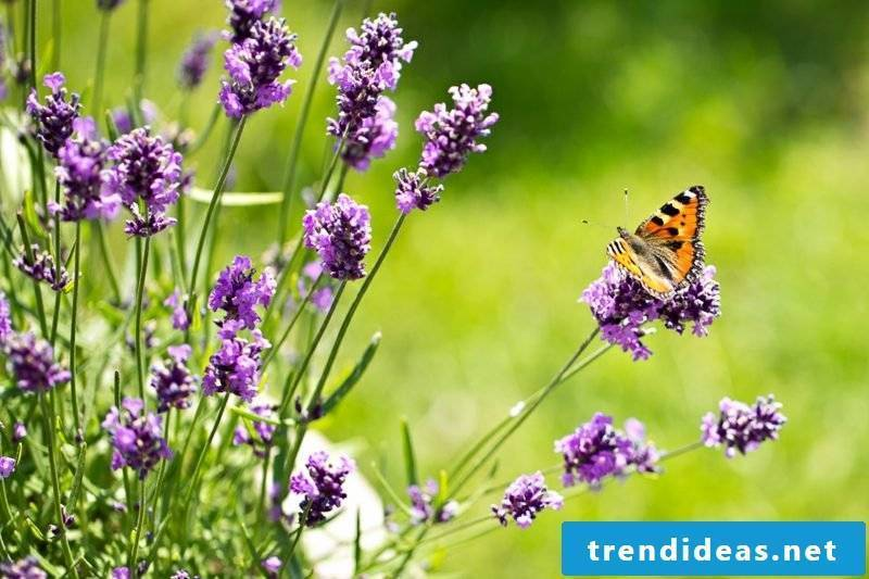 Lavender aromatic plant butterfly