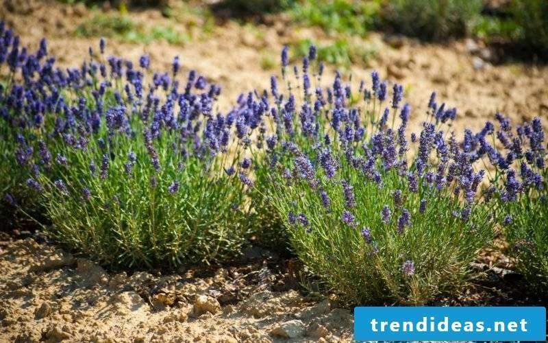 Plant lavender in the garden