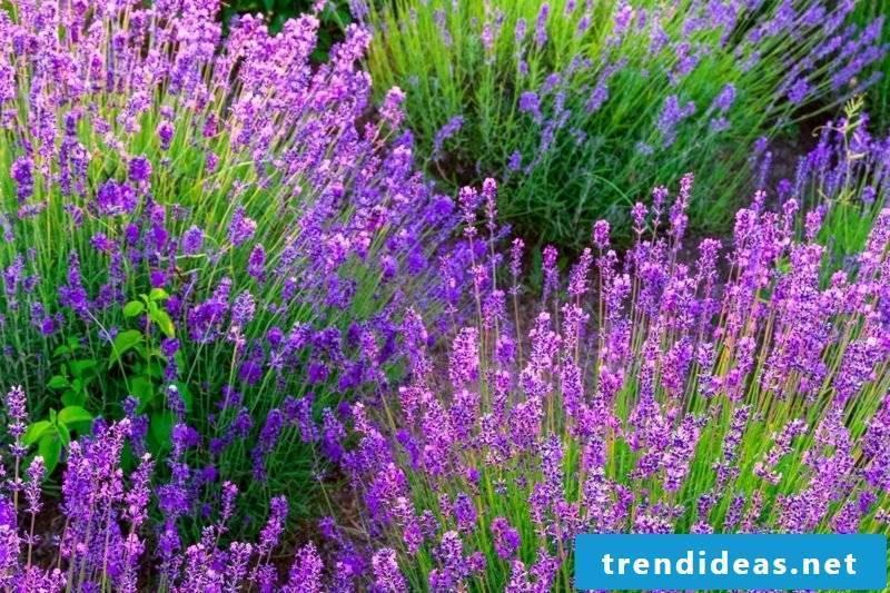 Lavender in the garden care tips