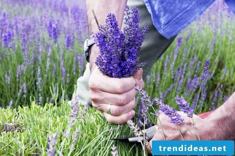 Lavender cut helpful tips