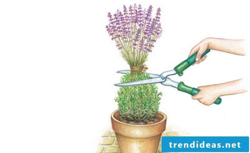 cut the lavender properly