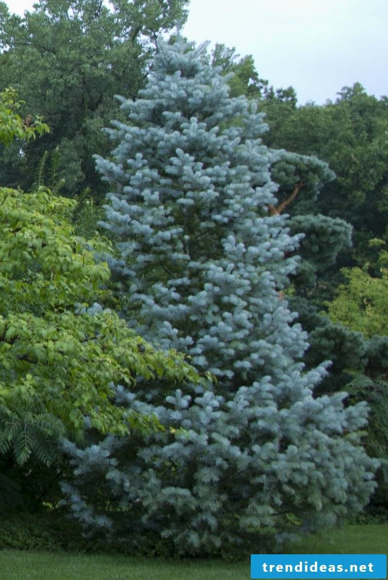 evergreen tree concolor
