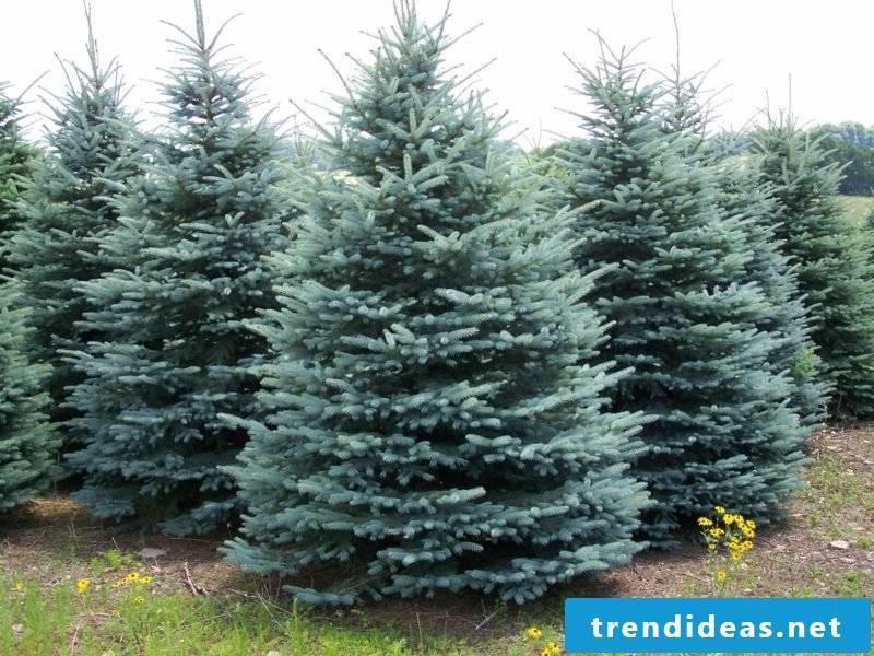 evergreen tree spruce colorado blue