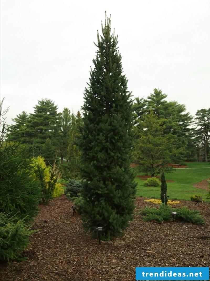 evergreen tree cupressina spruce