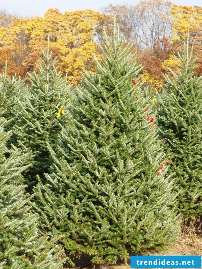 evergreen trees fraser fir inside