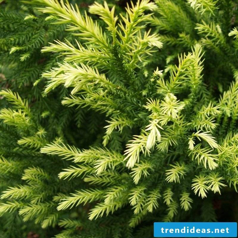 evergreen-baume-1371473758-67918000