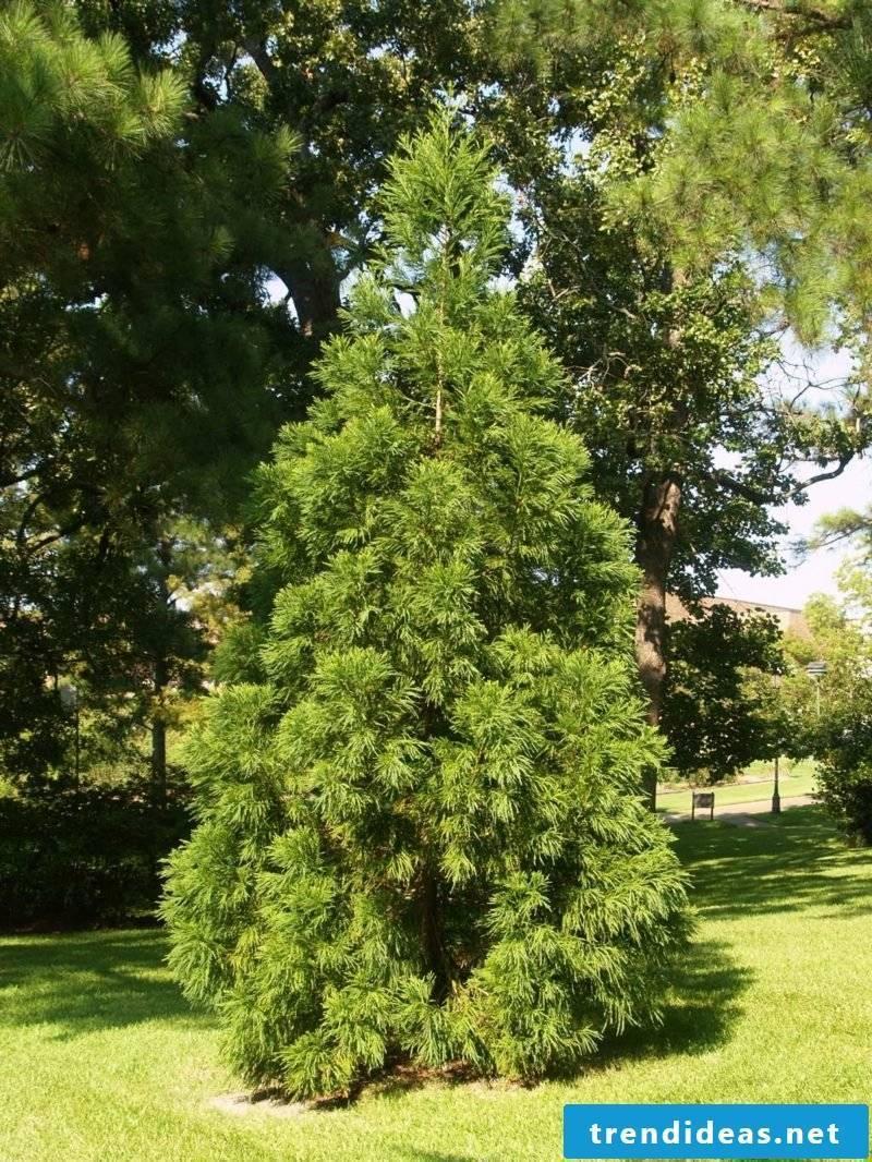evergreen-baume-japanese-cedar-yoshino