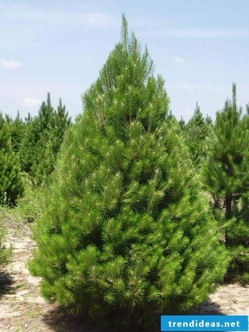 evergreen-baume-ap