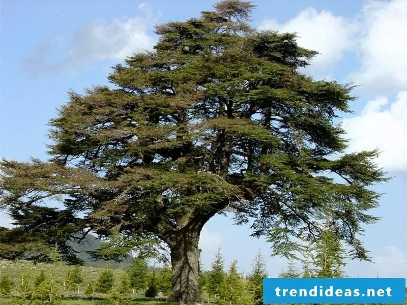 evergreen-baume-022-hydro late-cedar