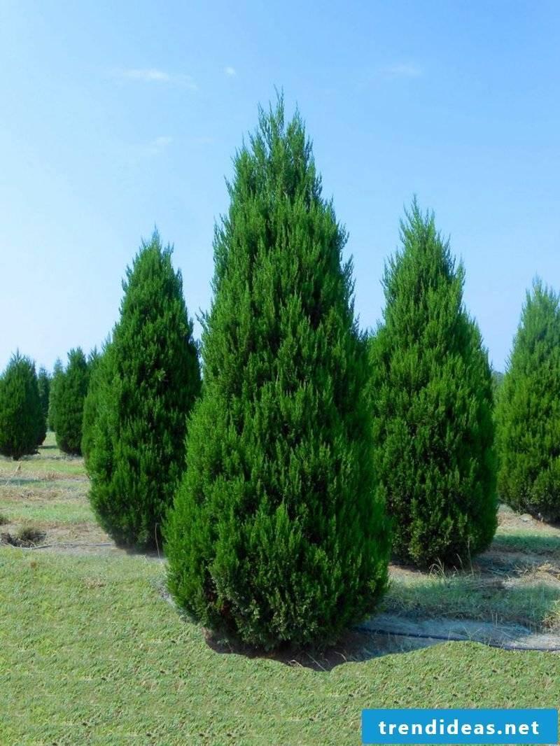 evergreen-baume-0cd91833af66c3e302f71c5c8e99dfdd