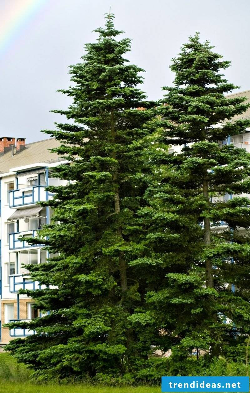 evergreen-baume-norway_spruce