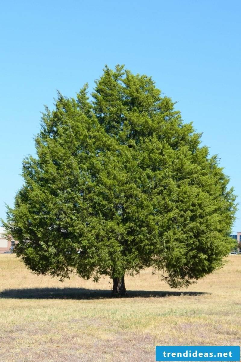 evergreen-baume-ercedar-photo-2