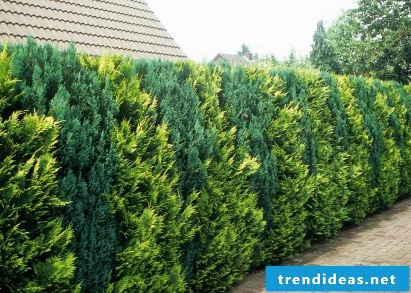 Gardening Ideas Screening hedge up