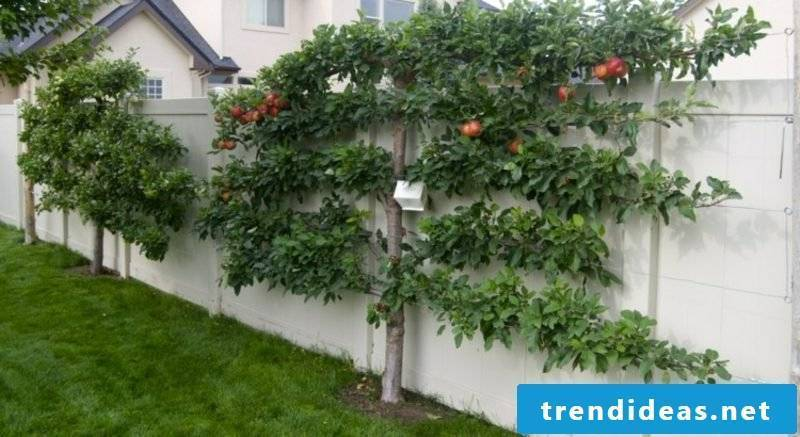 Apple tree trellis creative ideas gardening