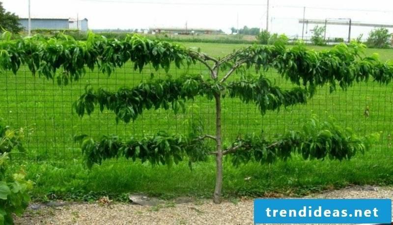 Trellis fruit peach tree ideas and inspirations