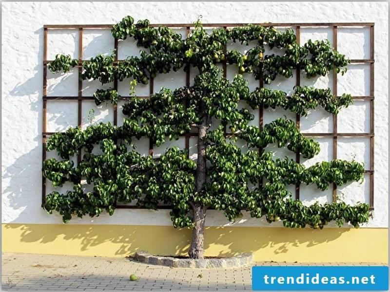 Wooden trellis house wall fruit grow
