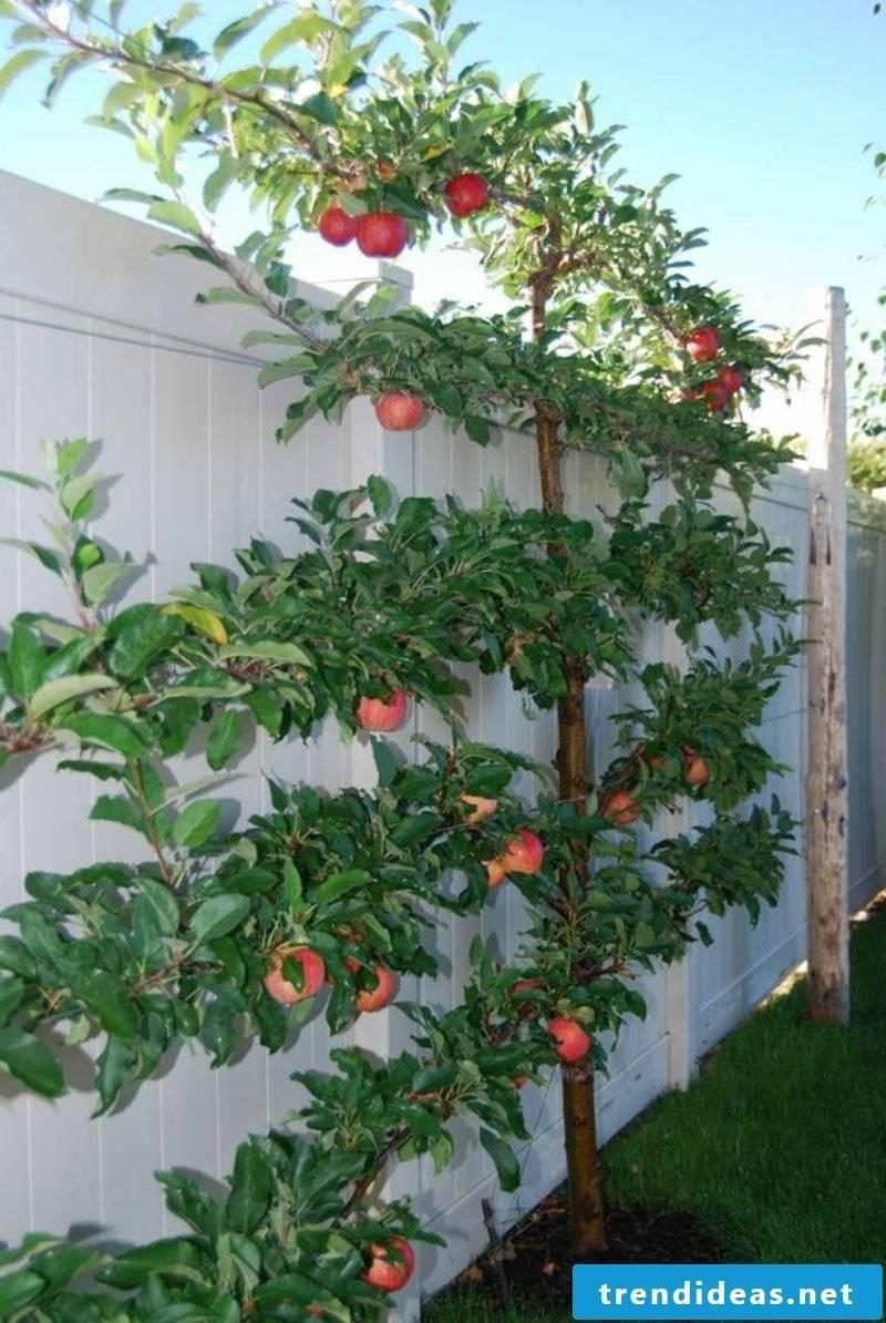 high apple tree trellis garden fence