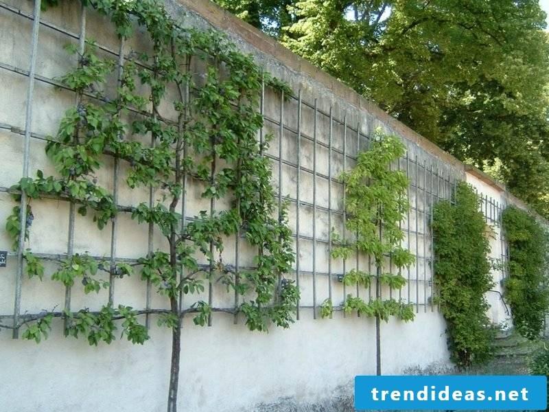 Growing trellises in the small garden