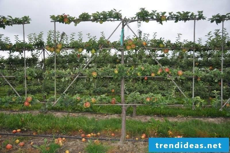 Trellis apple tree