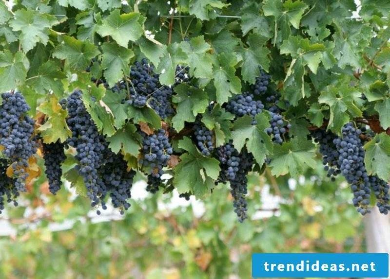 Growing trellis fruit grapevine
