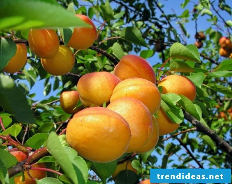 Trellis fruit Apricots wonderful look