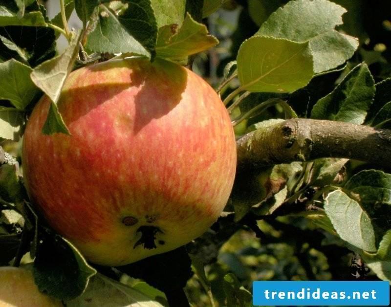 Trellis fruit grow apple tree