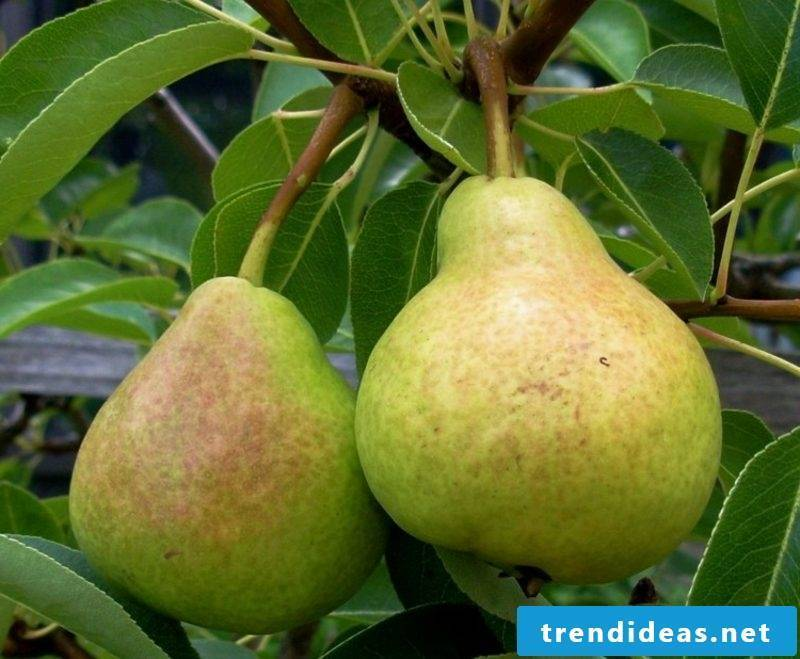 Pears grow trellis garden