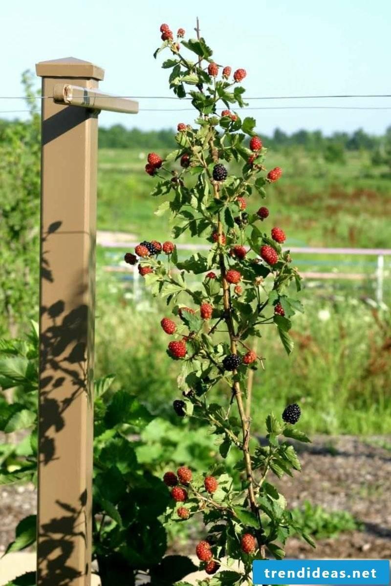 Trellis fruit grow blackberries