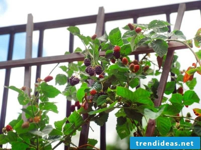 Trellis fruits in the small garden grow blackberries