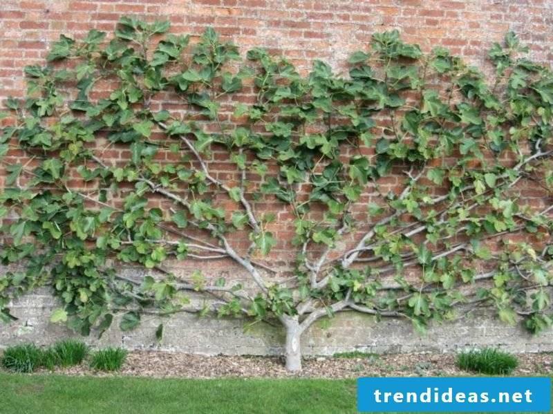 Fruit tree trellis garden gorgeous look