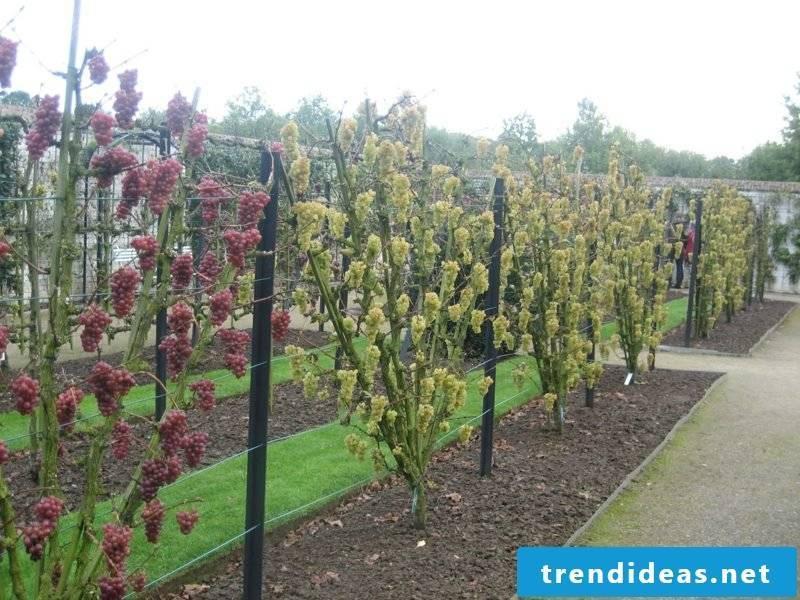 Growing trellis fruit gardening