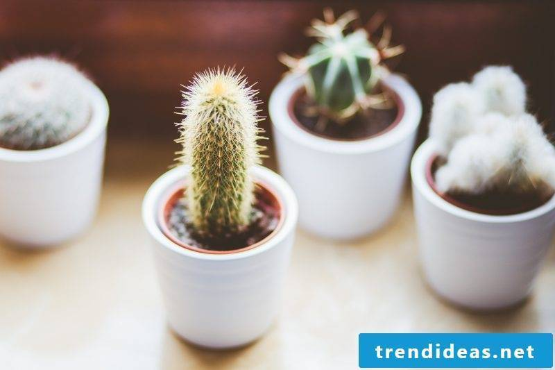 hardy balcony plants cactus