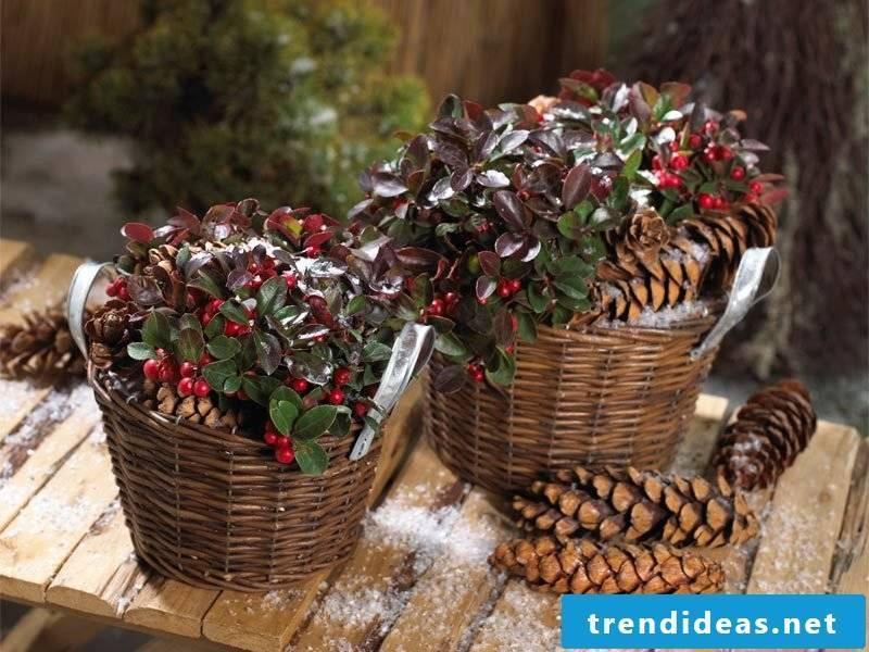 merry winter hardy balcony plants